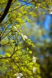White flowering dogwood tree (Cornus florida) in bloom Stock Photo