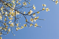 White flowering dogwood tree (Cornus florida) in bloom in blue sky Royalty Free Stock Image
