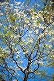 White flowering dogwood tree (Cornus florida) in bloom in sunlight.  Royalty Free Stock Photo