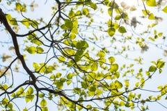 White flowering dogwood tree (Cornus florida) in bloom in sunlight Royalty Free Stock Photo