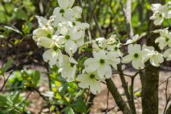White Flowering Dogwood Tree - Cornus florida. A group white flowers on a flowering dogwood tree on a beautiful spring day located in the Blue Ridge Mountains of stock photo