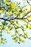 White flowering dogwood tree (Cornus florida), Japan Royalty Free Stock Image