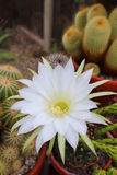 White flowering echinopsis cactus. An echinopsis cactus with a large white flower royalty free stock photography