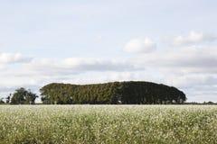 White flowering field in Groningen, Netherlands Royalty Free Stock Images