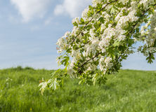 White flowering Hawthorn against a blue sky Royalty Free Stock Photos