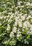 White flowering Hawthorn shrub in april Stock Image