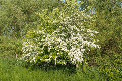 White flowering Hawthorn in the spring season Royalty Free Stock Image