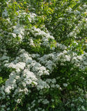 White flowering Hawthorn in springtime Stock Photo