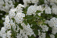 White flowering hedge. Spiraea, white flowers, white flowering hedge, tiny flowers Royalty Free Stock Photography