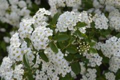 White flowering hedge. Spiraea, white flowers, white flowering hedge, tiny flowers royalty free stock photography