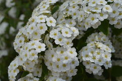 White flowering hedge. Spiraea, white flowers, white flowering hedge, tiny flowers Stock Photos