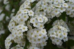 White flowering hedge. Spiraea, white flowers, white flowering hedge, tiny flowers stock photos
