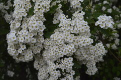 White flowering hedge. Spiraea, white flowers, white flowering hedge, tiny flowers Royalty Free Stock Images