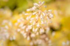 White Flowering Heuchera Plant Stock Photography