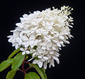 White flowering Hydrangea Paniculata Phantom plant. Against a black background Royalty Free Stock Photo