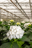 White flowering Hydrangeas in a  Hydrangea cut flowers nursery Stock Photo