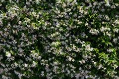 White flowering jasmine background. Close up,  white flowering jasmine background Royalty Free Stock Photography