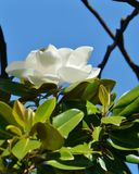 A white flowering magnolia tree Stock Photography