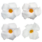 White flowering Mandevilla Royalty Free Stock Image