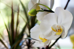 White flowering orchid Royalty Free Stock Images
