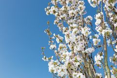 White flowering ornamental cherry branches before blue sky stock images