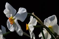 White flowering poet`s daffodils Narcissus Poeticus on dark background Stock Images