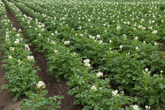 White flowering potato plants Stock Image