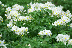 White flowering potato plants Stock Photo