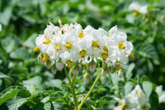 White flowering potato plants Royalty Free Stock Images