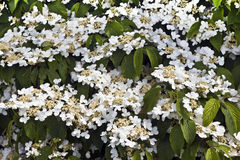 White flowering shrub. Royalty Free Stock Photo