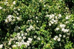 White flowering shrub Spirea aguta. Brides wreath Royalty Free Stock Photography
