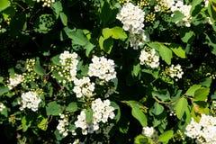 White flowering shrub Spirea aguta. Brides wreath Stock Photos