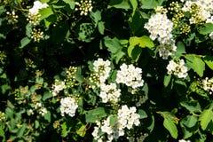 White flowering shrub Spirea aguta. Brides wreath Royalty Free Stock Photo