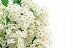 White flowering Spirea arguta Royalty Free Stock Photography
