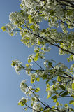 White Flowering Tree. A white flowering tree against a beautiful blue sky royalty free stock image