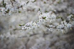 White Flowering Tree Stock Images