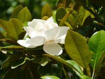 White flowering tree Stock Photos