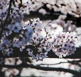 White Flowering Tree Selective Focus Photography Royalty Free Stock Photography