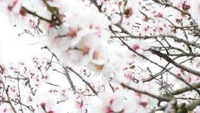 Flowering tree twigs in the wind. White flowering tree twigs in the wind stock video footage