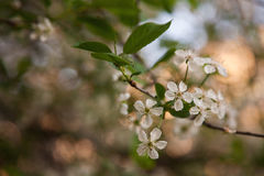White flowering trees Royalty Free Stock Images