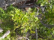 White flowering weed 4. White flowering weed with grass around ground cover nature ground stock image