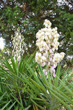White Flowering Yucca filamentosa,. Yucca filamentosa white flowers in the botanical garden in Melbourne Royalty Free Stock Photography