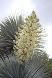 White flowering Yucca plant on cloudy sky stock image