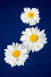 White Flowers. Flower decoration of three white daisies on a dark blue background Stock Images