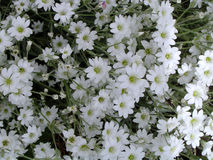 White Flowers. Growing Stock Image