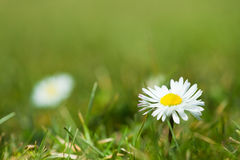 White flowers. On green grass stock image