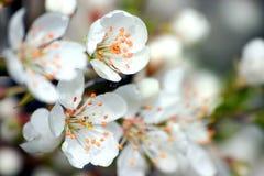 White Flowers. White blossoms Stock Photo