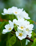 White flowers royalty free stock image