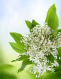 White flowers. Royalty Free Stock Images