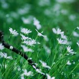 White flowers Stock Photography